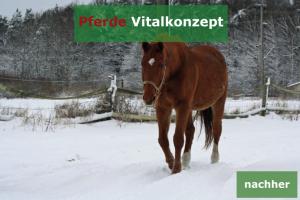 Pferde Vitalkonzept - Schwerfuttrige Stute nachher