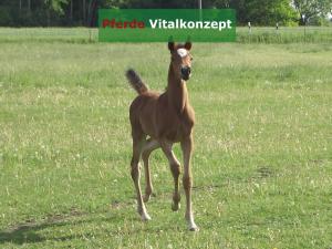 Pferde Vitalkonzept - Araber Fohlen